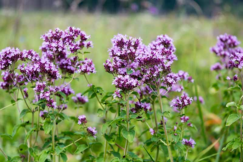 A close up horizontal image of the bright purple flowers of oregano growing in the garden pictured on a soft focus background.