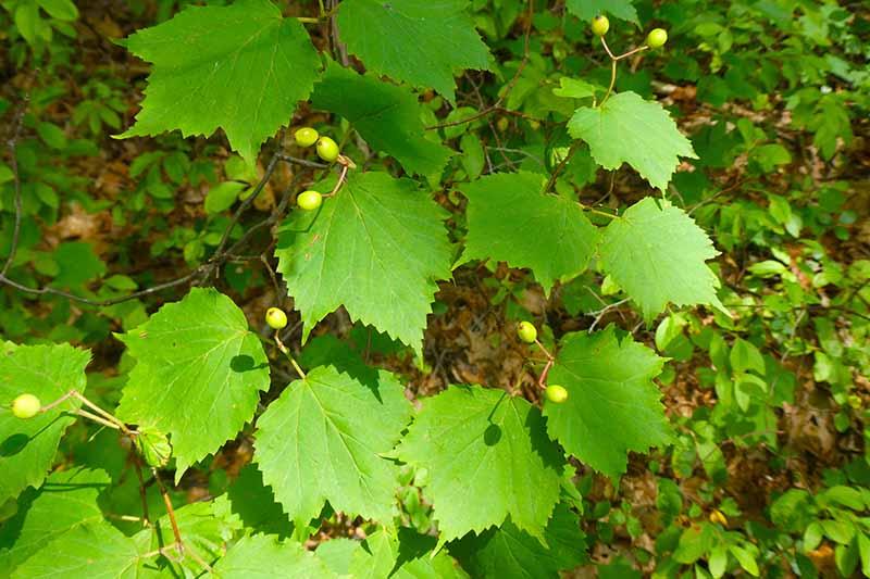 A close up horizontal image of maple leaf viburnum (Viburnum acerifolium) growing in the garden.