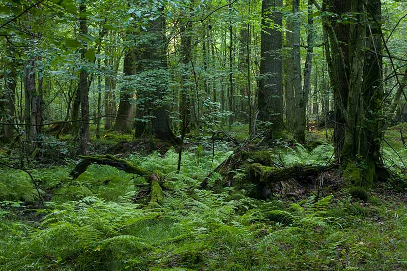 A horizontal image of a forest understory with ferns and other perennials.