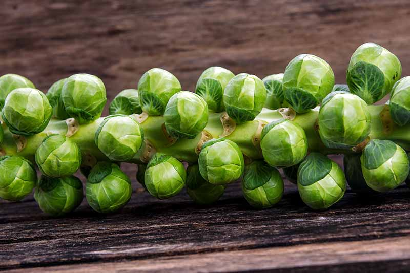 A close up horizontal image of a freshly harvested stalk of brussels sprouts set on a wooden surface.