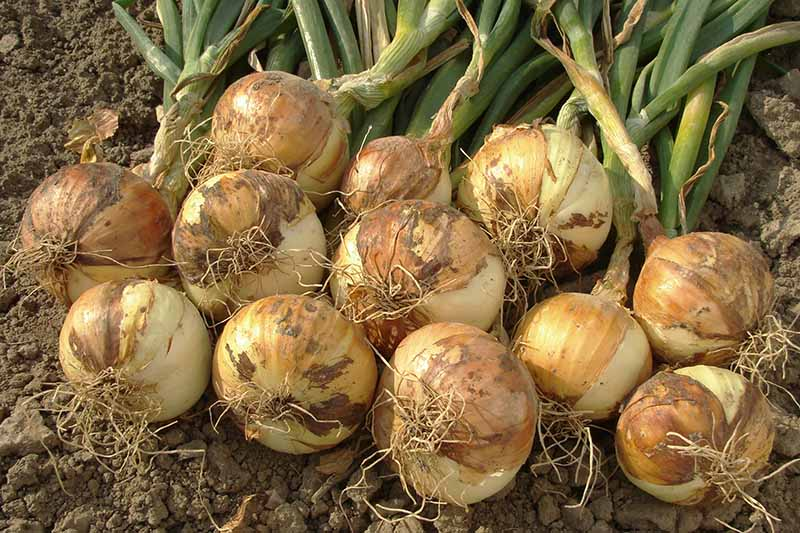 A close up horizontal image of freshly harvested onions set on the ground pictured in light sunshine.