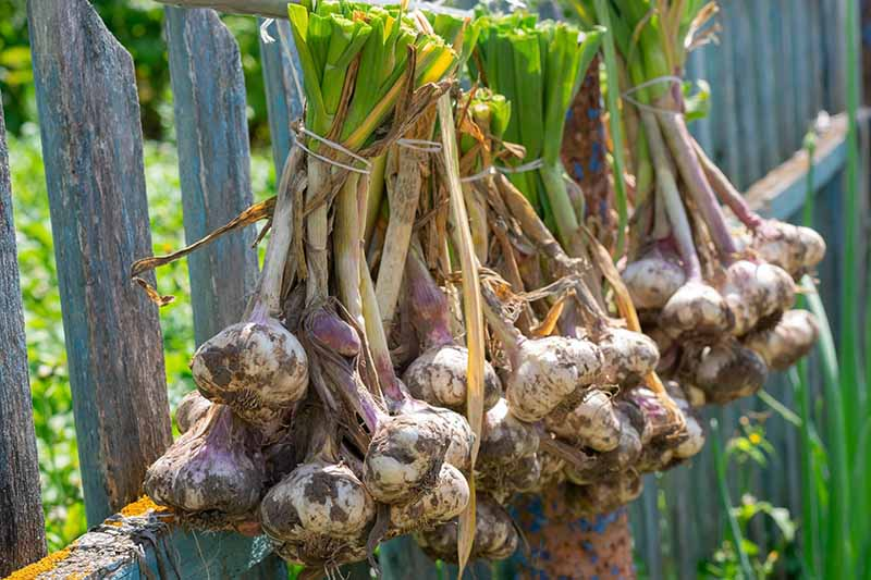 A close up horizontal image of freshly harvested garlic hanging on a wooden fence to cure.