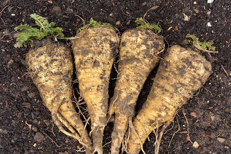 A close up horizontal image of freshly dug 'Hollow Crown' parsnips set on the ground.