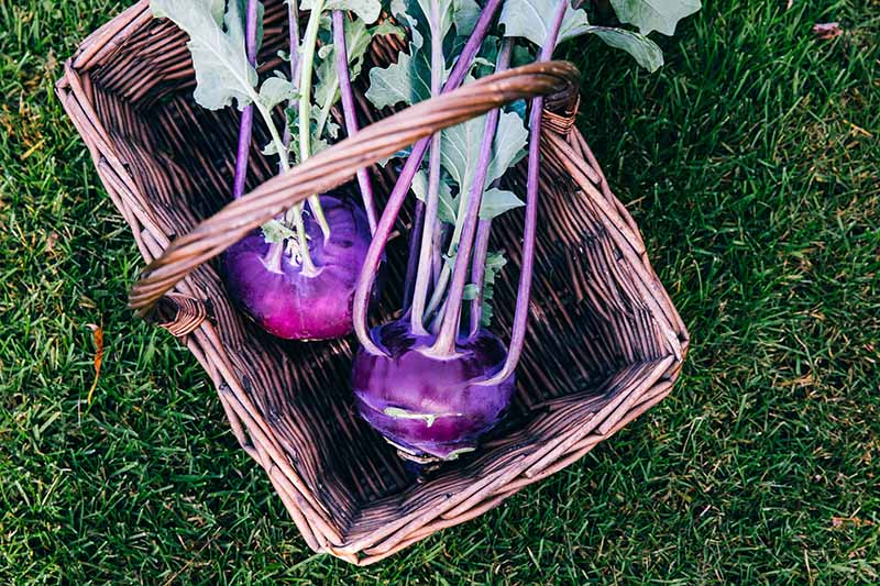 A close up horizontal image of freshly harvested purple kohlrabi bulbs in a wicker basket set on a lawn.