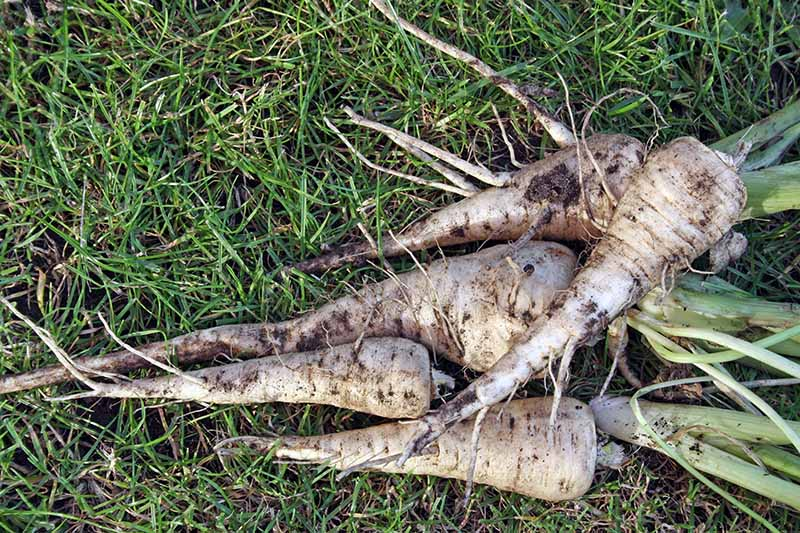 A close up horizontal image of freshly dug parsnips from the garden set on the lawn.