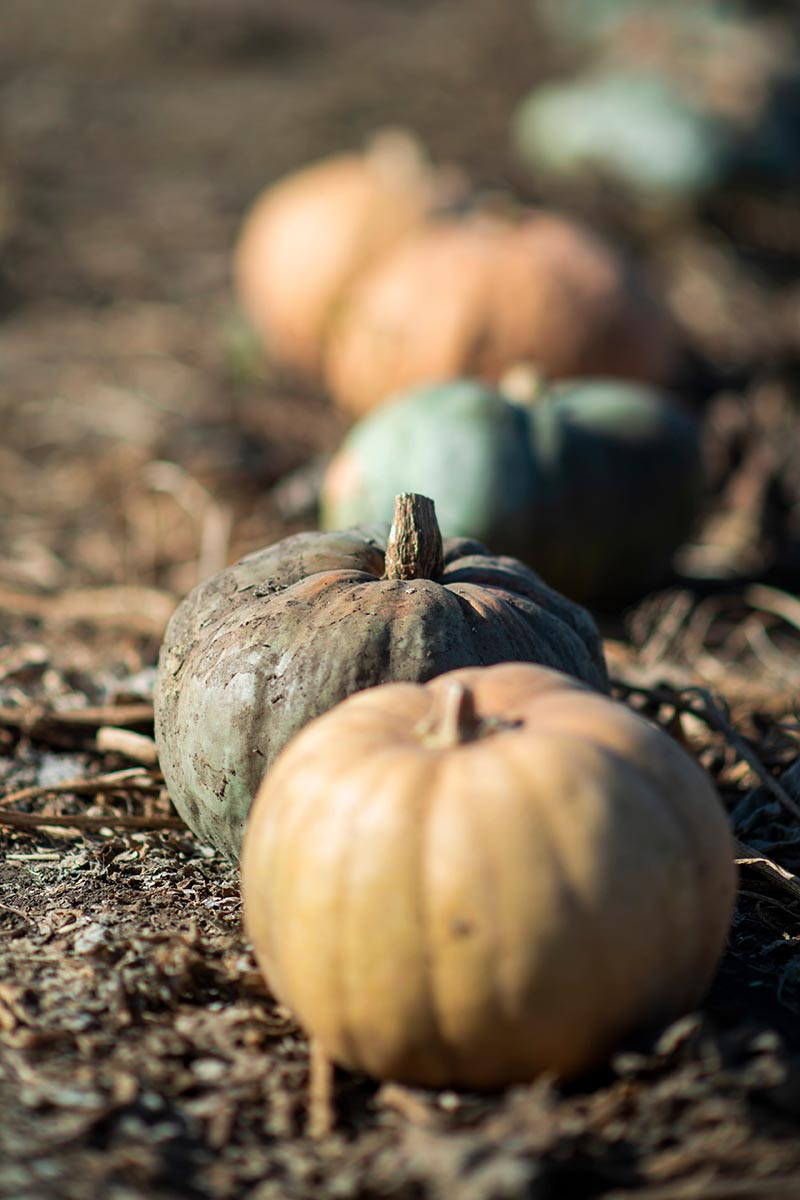 A close up vertical image of a row of freshly harvested pumpkins on the ground fading to soft focus in the background.