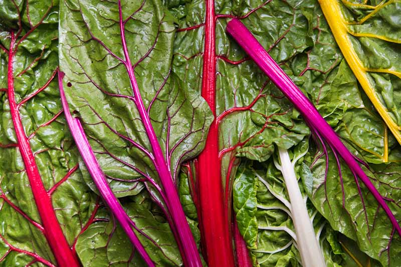 A close up horizontal image of leaves of rainbow chard, freshly harvested and cleaned, with red, pink, and orange stems and deep green leaves.
