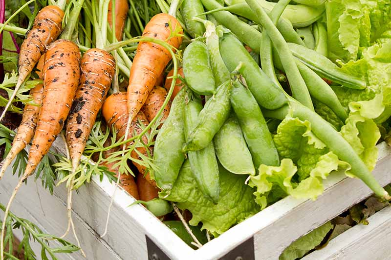 A close up horizontal image of a wooden basket filled with a variety of freshly harvested vegetables.