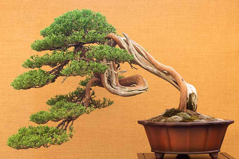 A close up horizontal image of a fukinagashi (windswept) bonsai tree in a small container pictured on an orange background.