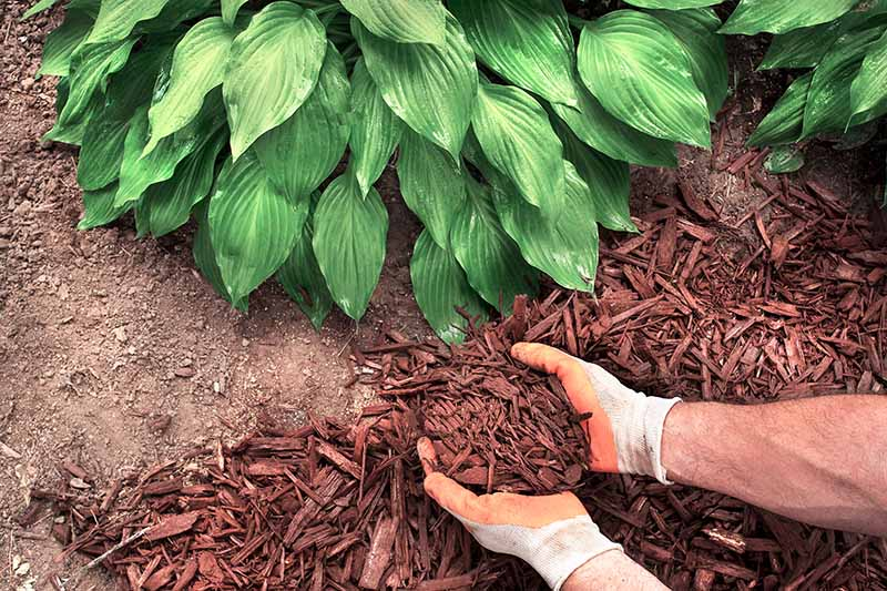 A close up horizontal image of two hands from the right of the frame using bark chips to mulch around a hosta plant.