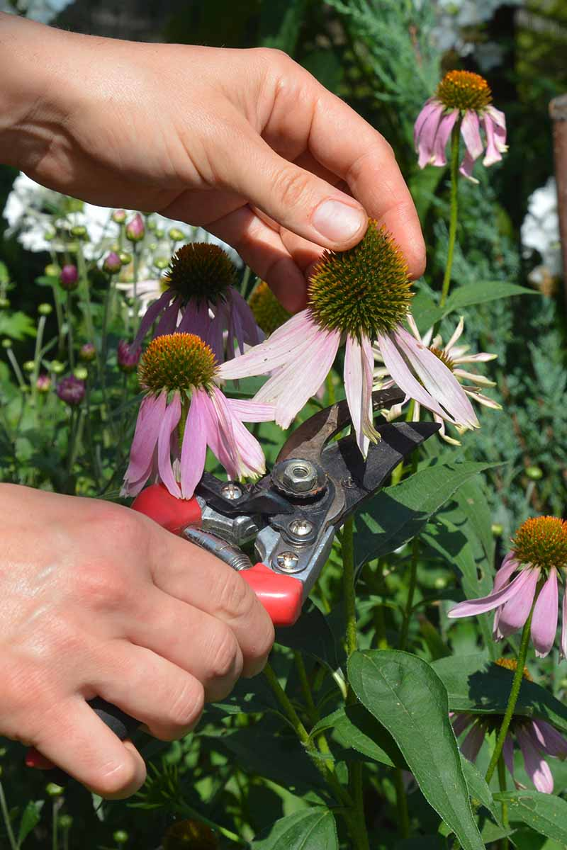 A close up vertical image of two hands from the left of the frame holding a pair of pruners deadheading a spent coneflower, pictured in bright sunshine.