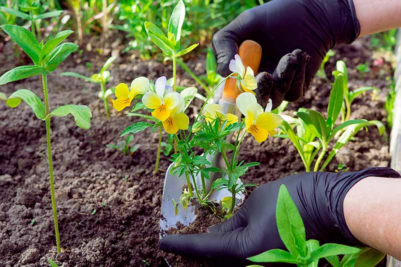 A close up horizontal image of two gloved hands from the right of the frame transplanting a tiny seedling into the spring garden.