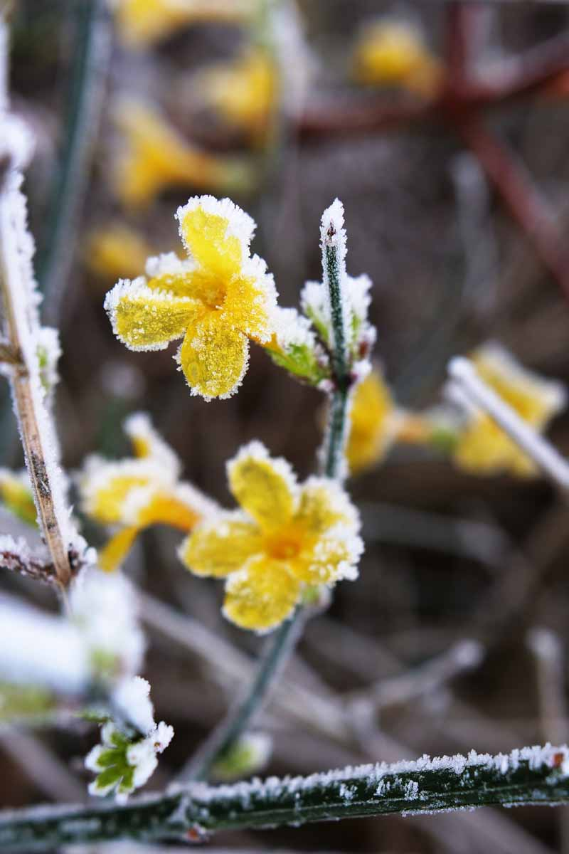 A close up vertical image of yellow jasmine flowers covered with frost in the winter months pictured on a soft focus background.