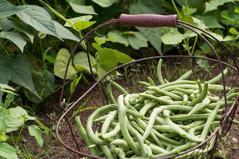 A close up horizontal image of green beans freshly harvested set in a metal basket with plants in the background.