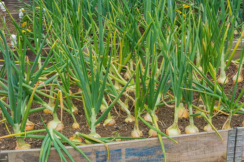 A close up horizontal image of onions growing in a wooden raised bed.