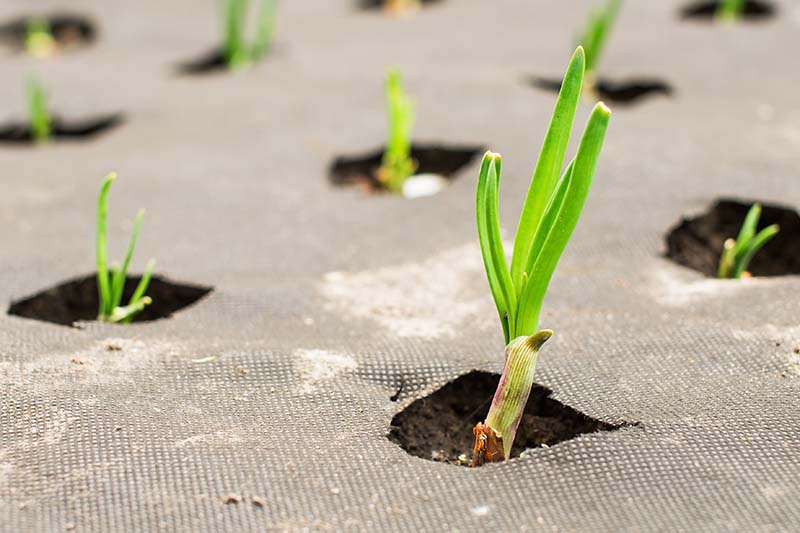 A close up horizontal image of onions growing through landscape fabric covering the soil.