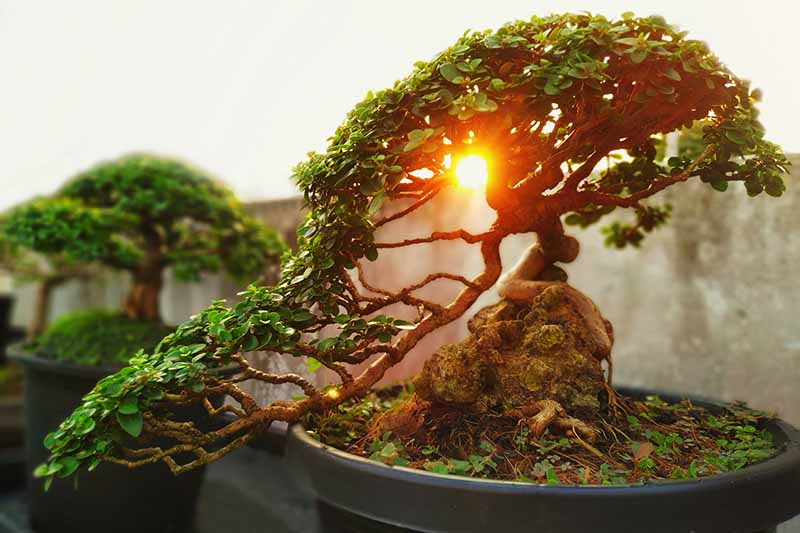 A close up horizontal image of a tree pruned into a han-kengai, aka semi-cascading style of bonsai pictured at sunset.