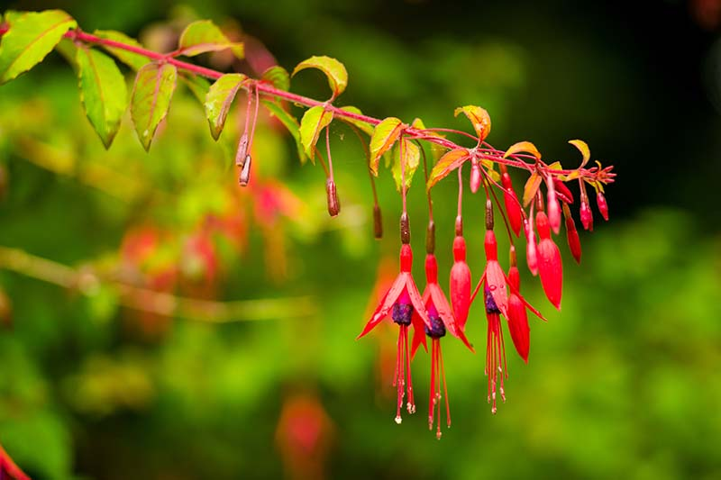 A close up horizontal image of red and purple Fuchsia magellanica flowers pictured in autumn sunshine on a soft focus background.