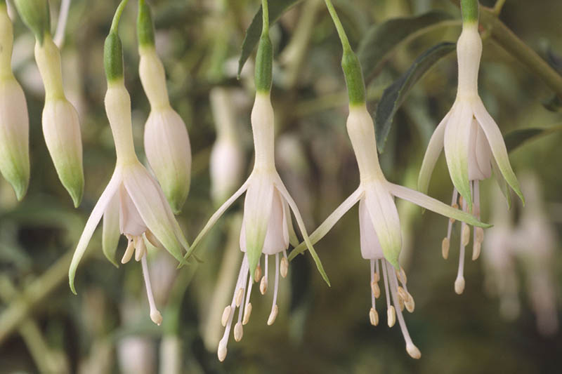 A close up horizontal image of the white flowers of 'Hawkshead' fuchsia pictured on a soft focus background.