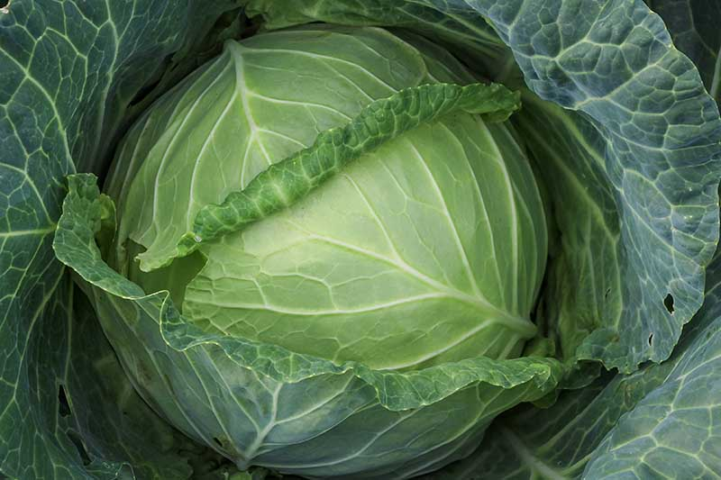 A close up horizontal image of a healthy cabbage head growing in the garden.