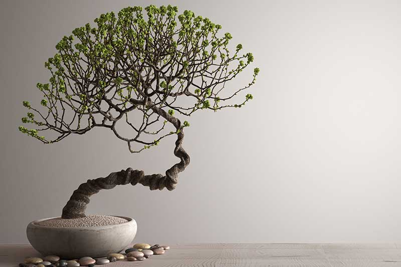 A close up horizontal image of a bonsai pruned into the hokidachi or broom style set on a wooden surface on a light gray background.