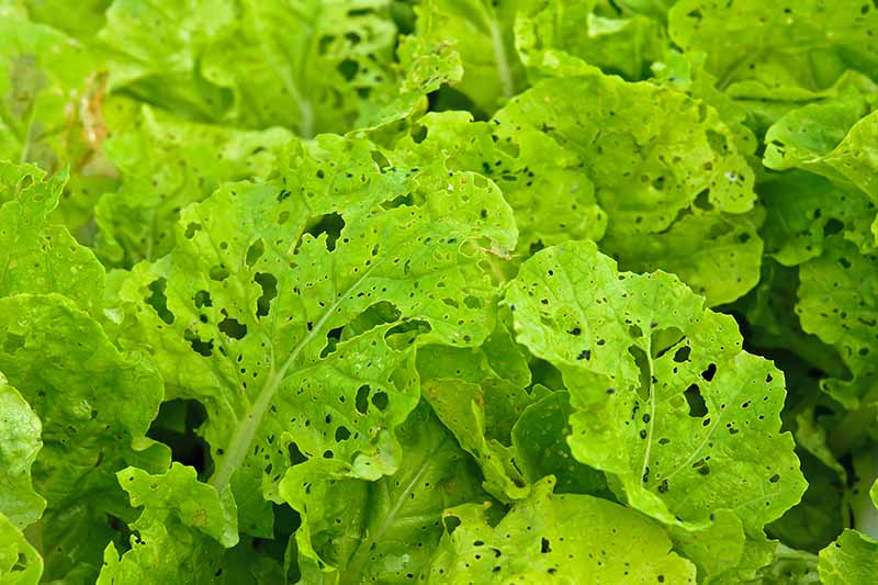 A close up horizontal image of green lettuce growing in the garden with insect holes in the leaves.