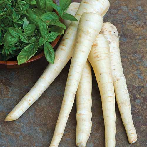 A close up square image of 'Hollow Crown' parsnips set on a kitchen countertop with herbs in a wooden bowl in the background.