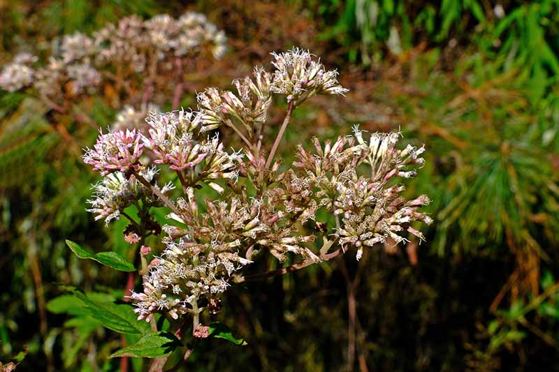 A close up horizontal image of the spent flowers of joe-pye weed in the fall garden.