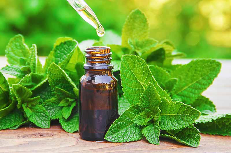 A close up horizontal image of a small bottle of mint essential oil with foliage scattered around it on a wooden surface.