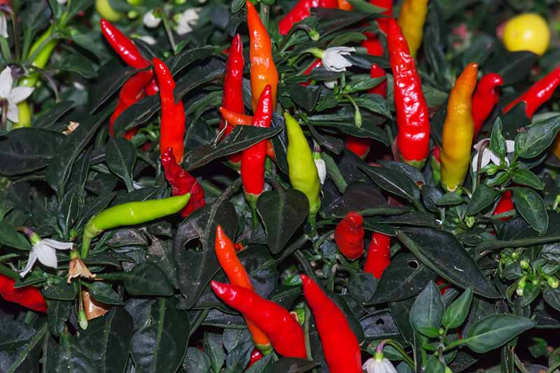 A close up horizontal image of hot cayenne peppers growing in the garden.