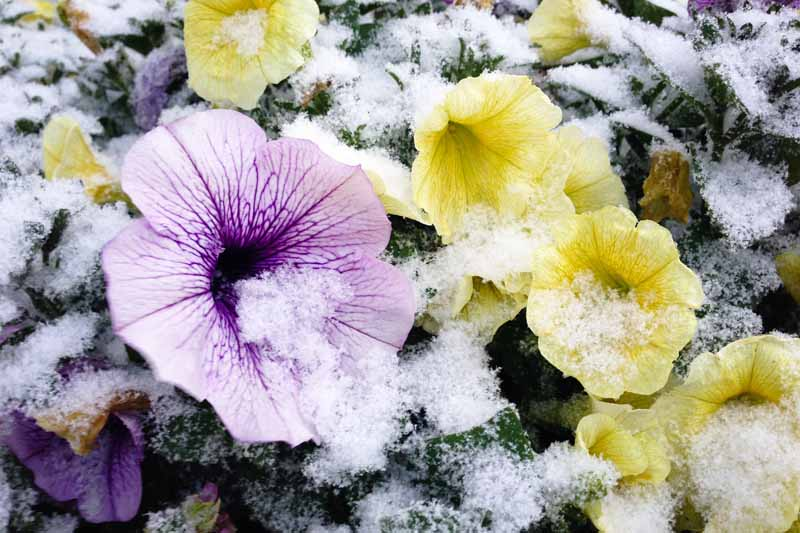 A close up horizontal image of purple and yellow petunias growing outdoors with a light dusting of snow.