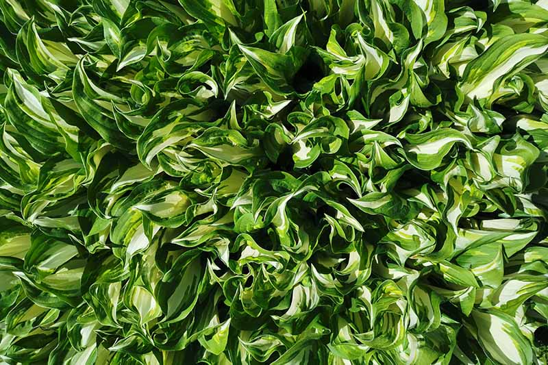 A close up horizontal image of a large clump of variegated hosta plants growing in the garden.