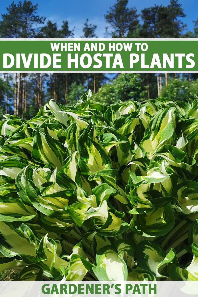 A close up vertical image of a large clump of variegated hostas growing in a sunny garden with trees and blue sky in the background. To the top and bottom of the frame is green and white printed text.