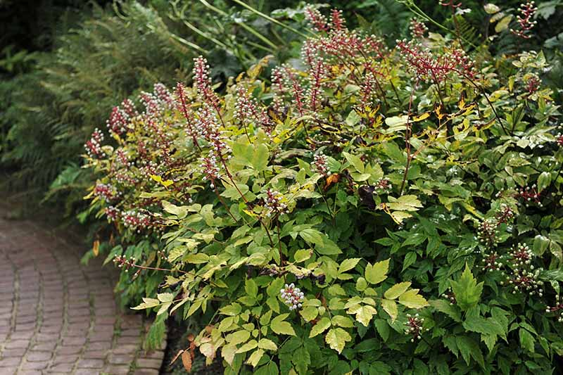 A close up horizontal image of a large baneberry shrub growing in the garden next to a brick pathway.