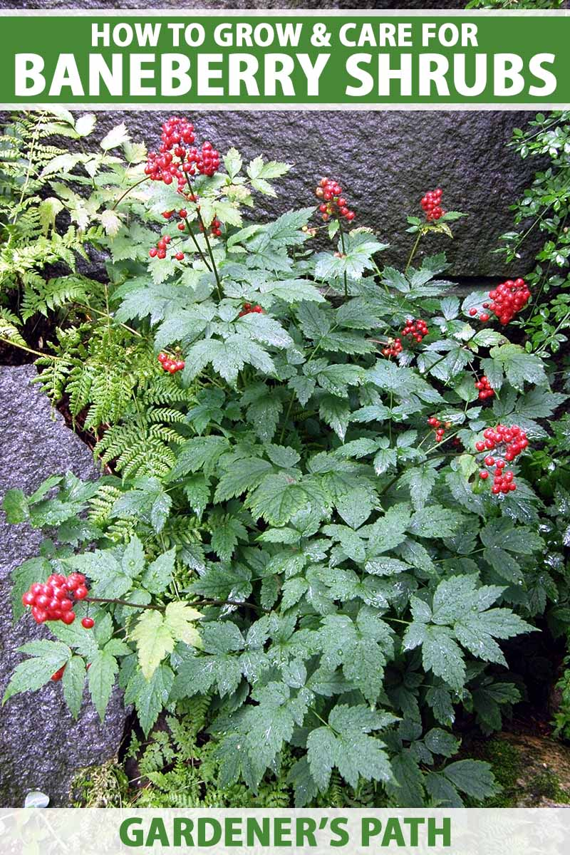 A close up vertical image of a red baneberry plant growing in a shady location with ferns and rocks. To the top and bottom of the frame is green and white printed text.