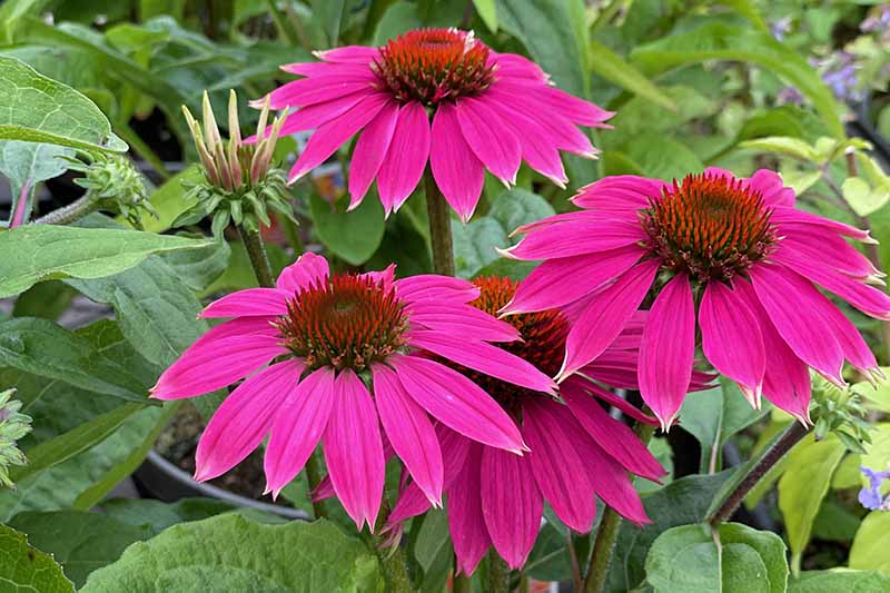 A close up horizontal image of bright pink coneflowers (echinacea) growing in the garden with foliage in soft focus background.