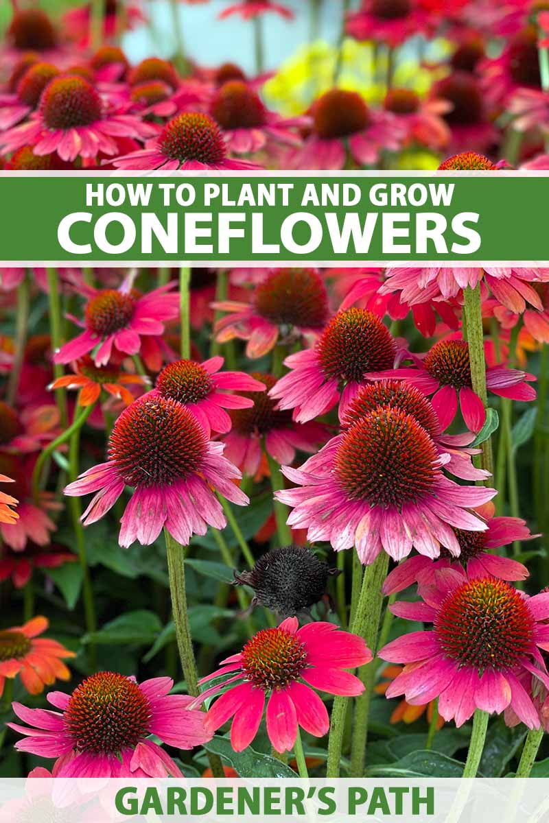 A close up vertical image of bright red coneflowers (echinacea) growing in the garden. To the top and bottom of the frame is green and white printed text.