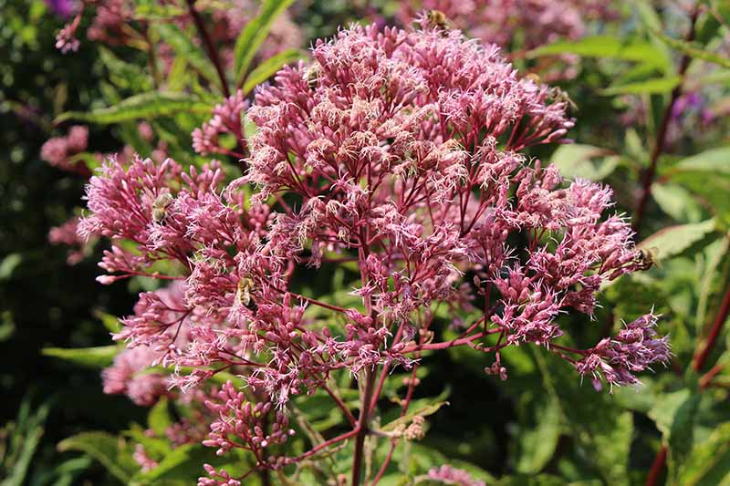 A close up horizontal image of pink joe-pye weed flowers growing in the garden pictured on a soft focus background.