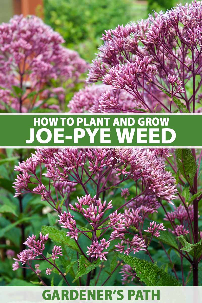 A close up vertical image of the flowers of joe-pye weed growing in the garden pictured on a soft focus background. To the center and bottom of the frame is green and white printed text.