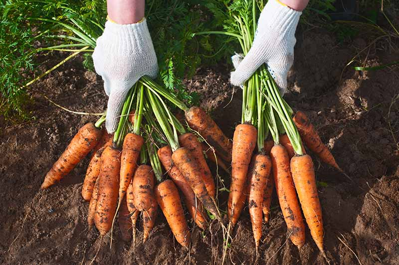 A close up horizontal image of two hands from the top of the frame wearing white gardening gloves holding two large bunches of freshly harvested carrots.