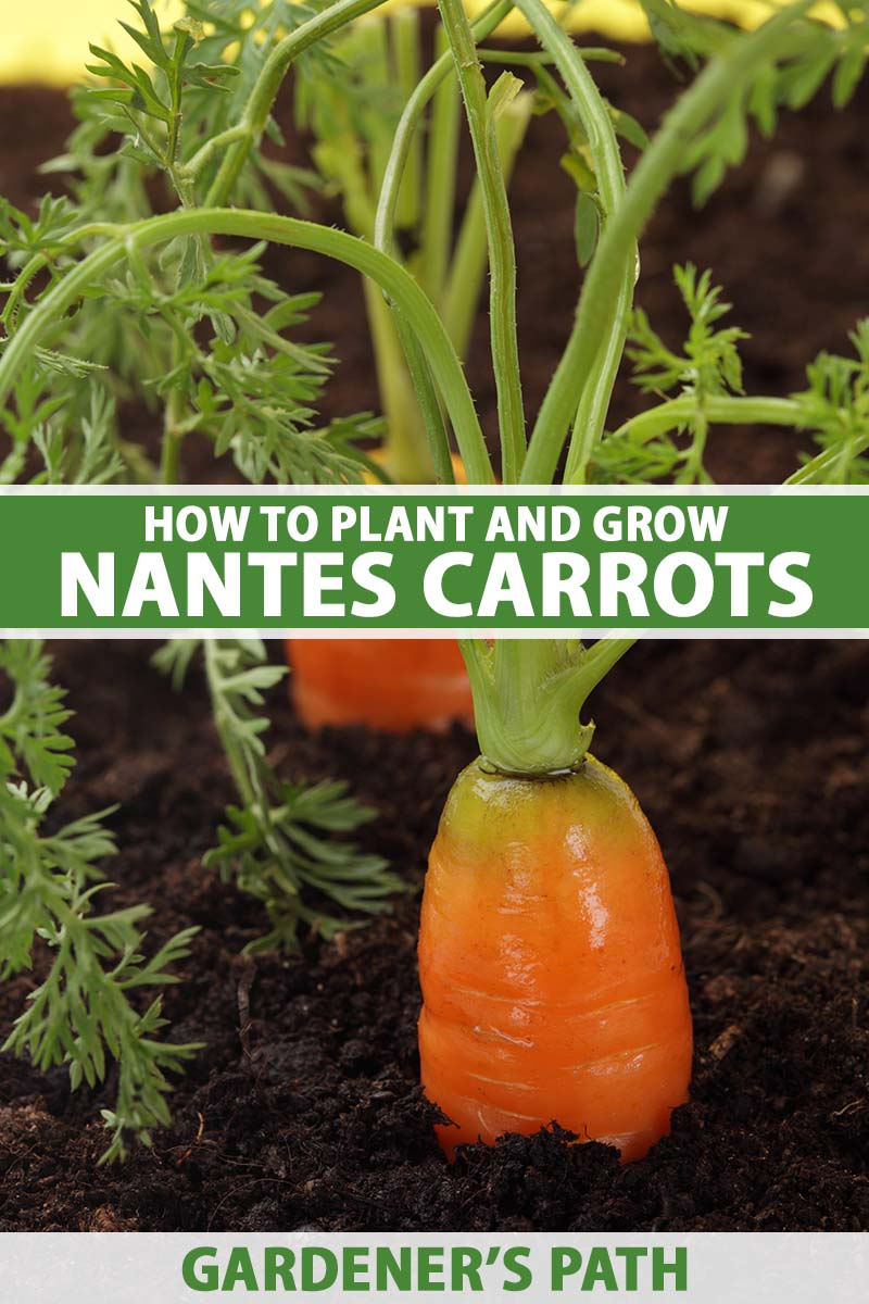 A close up vertical image of 'Nantes' carrots growing in the garden pictured on a soft focus background. To the center and bottom of the frame is green and white printed text.