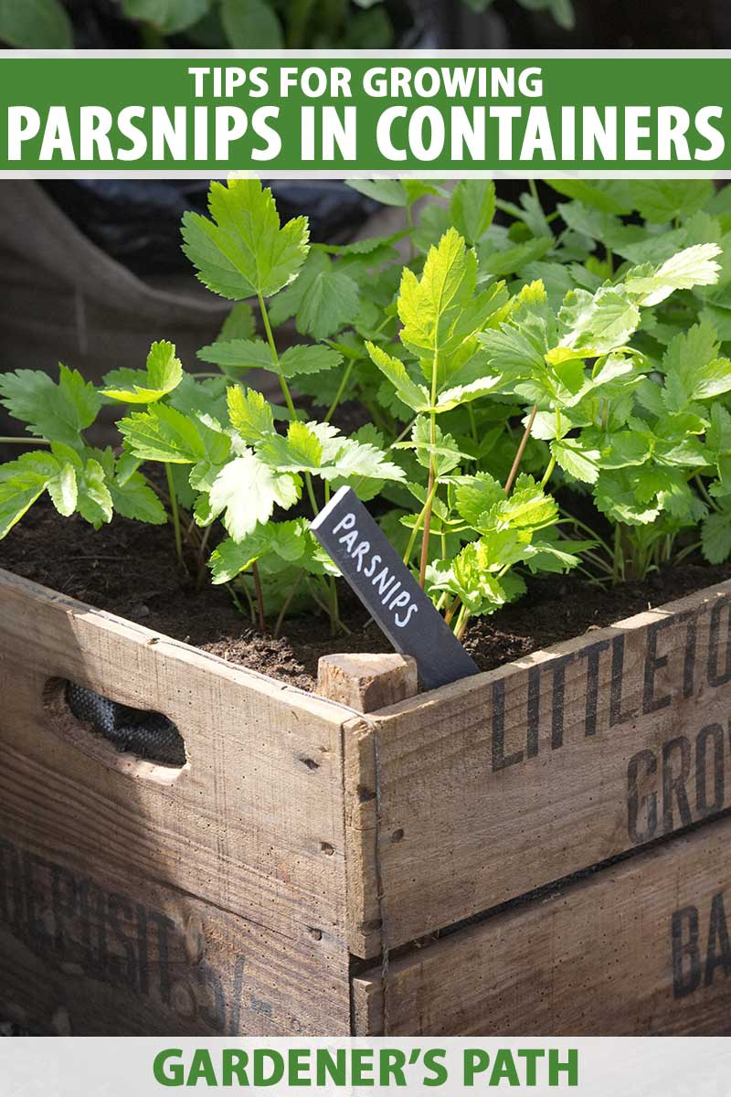A close up vertical image of a wooden planter growing parsnips pictured in light sunshine. To the top and bottom of the frame is green and white printed text.