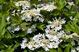 How to Grow and Care for Viburnum