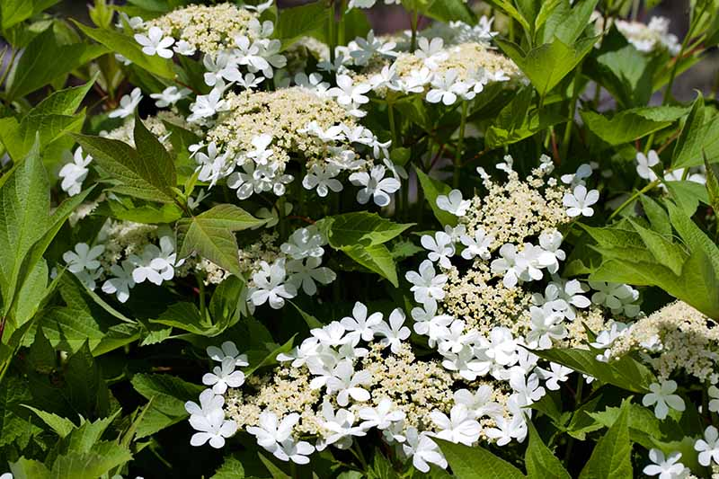 A close up horizontal image of the white flowers and green flowers of Viburnum trilobum growing in the garden.