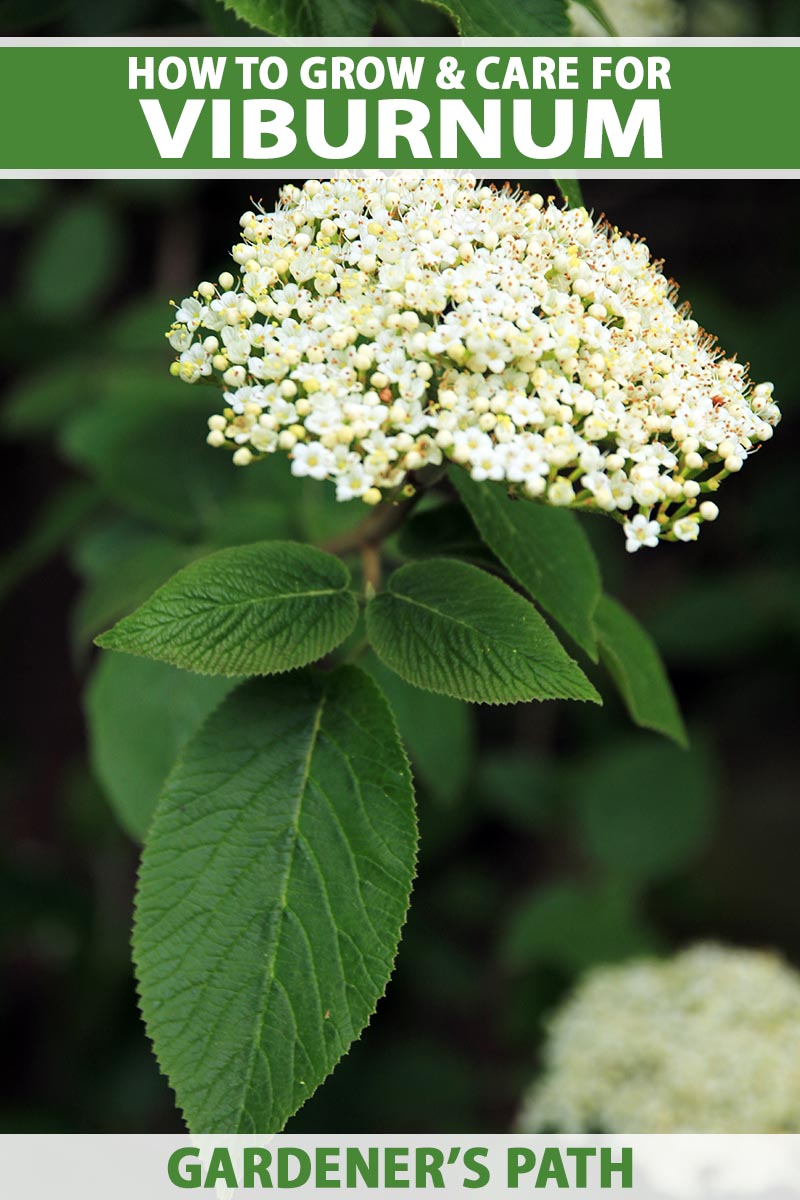 A close up vertical image of the white flowers and green foliage of a viburnum shrub growing in the garden pictured on a soft focus background. To the top and bottom of the frame is green and white printed text.