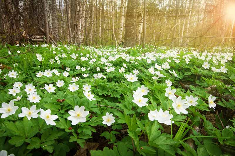 A close up horizontal image of a swath of wood anemones growing at the edge of a forest.