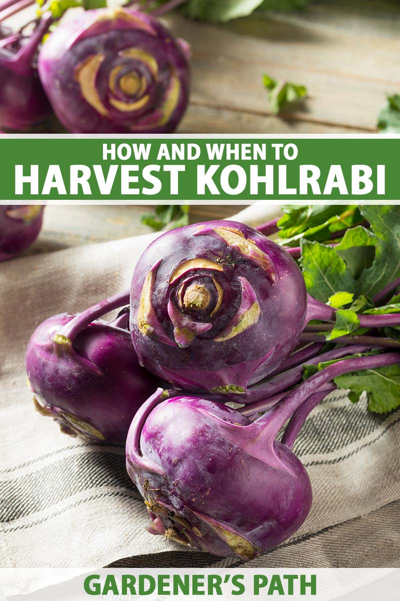 A close up vertical image of freshly harvested purple kohlrabi set on a tea towel on a wooden surface. To the top and bottom of the frame is green and white printed text.