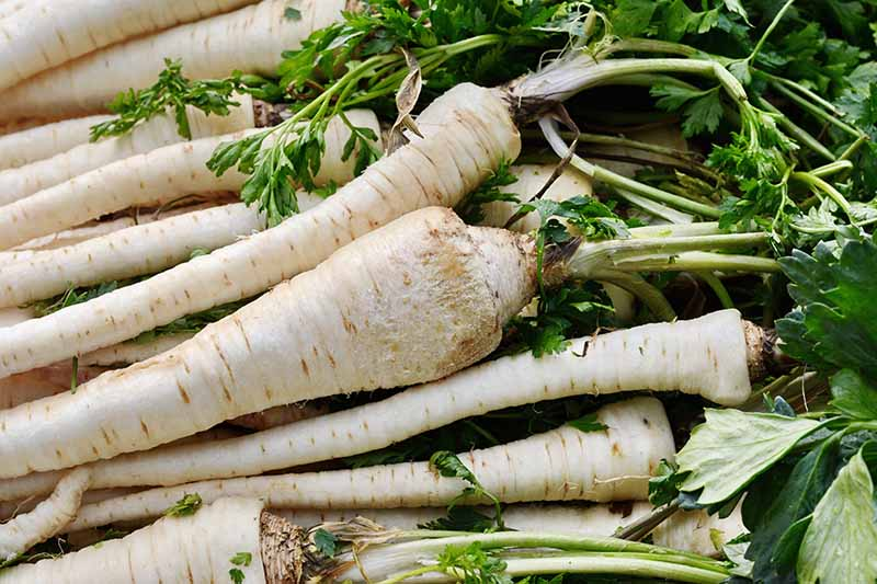 A close up horizontal image of a pile of freshly harvested and cleaned parsnips.