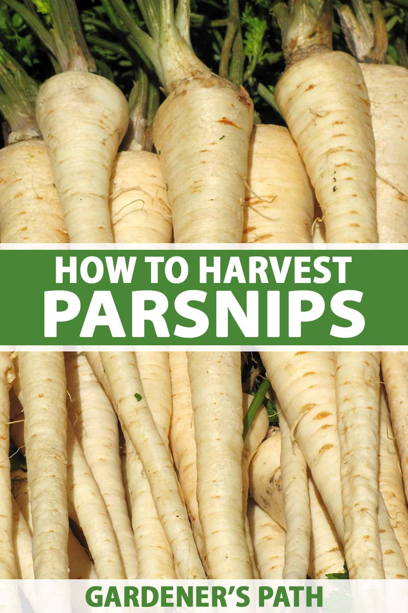 A close up vertical image of a pile of freshly harvested and cleaned homegrown parsnips. To the center and bottom of the frame is green and white printed text.