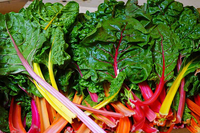 A close up horizontal image of bunches of rainbow Swiss chard with bright red and orange stalks and dark green leaves.